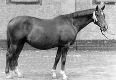 Marquise (Altan X Madeira) was a Trakehner mare with such influence that she was given her own branch of the Marke family, O115A2 Marquise. Her notable offspring include the approved Trakehner stallions Markasit, Marjoran, and Marakesch, as well as the highly proven mares Maharani II, Mona Lisa II, and Marquise II.