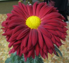 "Class 7 ""Domingo"" Chrysanthemum"