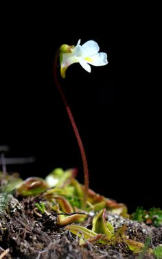 Pinguicula primuliflora, commonly known as the Primrose Butterwort, is a species of carnivorous plant belonging to the genus Pinguicula. It is native to the southeastern United States. The typical variety forms a white flower in blooming that has sticky adhesive leaves which attract, capture and digest arthropod prey in order to supply the plant with nutrients such as nitrogen not found in the nutrient poor, acidic soil that it grows in.