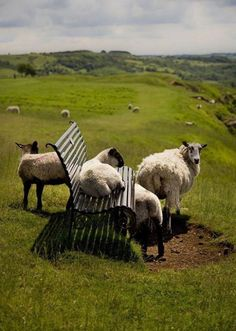 Sheepies taking a load off and enjoying the view..