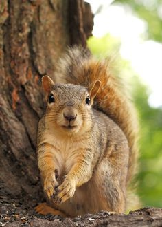 Fall squirrel, wishing his hands were hovering over a nut
