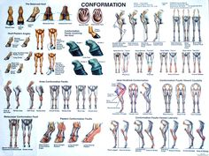 Equine Conformation Chart