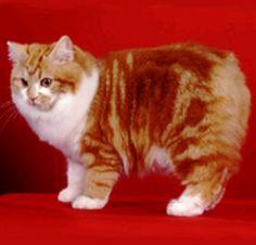 Cymric cat breed Cymric, Crazy Cat Lady, Crazy Cats, Animals And Pets, Cute Animals, Manx Cat, Bobtail Cat, Fancy Cats, Red Cat