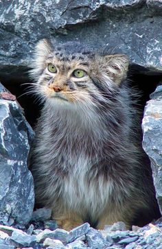 manul cat, or Pallas cat, from Central Asia. Endangered species. Its eyes don't have the slit pupils. They are descended from the leopard cat