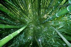 Il bosco di bambù giganti delle terme di Stigliano. #bambù #green #nature #wood