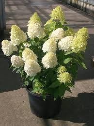 Abundant flower heads on strong stems Dried Flowers, Pink Flowers, Hydrangea Paniculata, Trees And Shrubs, Fall Season, Bloom, Garden, Sweet, Pretty