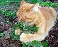 Catnip Catmint Seeds Herb Heirloom...found this kitty on Amazon while searching for Cat nip plants for Mika. Doesn't he look happy?https://www.amazon.com/dp/B01MS56D6T/ref=cm_sw_r_pi_dp_x_S94pzbW04NDV8