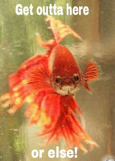 This is my gorgeous Betta fish pet Garney...  This is probably one of his…