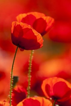 Poppies...love them so much! This is my favorite color! <3