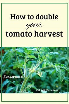 Big Garden You can double your tomato harvest by growing more plants and here's how to do it for FREE! Garden You can double your tomato harvest by growing more plants and here's how to do it for FREE! Harvest, Organic Gardening, Garden Pests, Herbs, Plants, Country Gardening, Organic Gardening Tips, Tomato, Home Vegetable Garden