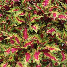 You can't ignore 'Gaga', one of the newest varieties in the Globetrotters series of coleus from Terra Nova. Sassy, multicolor leaves sport a bright pink flash bordered in green and cream. 'Gaga' works well as an accessory to shade garden perennials, staying tight, upright, and compact throughout the growing season. Plant Name: Solenostemon 'Gaga' Growing Conditions: part shade to full shade Size: 18 inches tall and 15 inches wide Grow it with: heucheras and ferns Image: Terra Nova Nurseries/