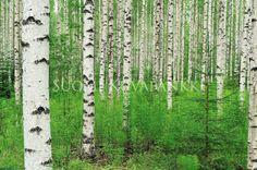 Kesä, Koivu, Metsä | Kategoriat | Suomi Kuvapankki