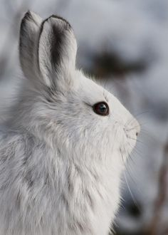 Did you know the snowshoe hare feeds at night rather than during the day? Woven paths in the woods lead to shrubs, grasses, and plants it loves to eat. Photo: Snowshoe hare by Tim Rains/NPS. Snowshoe Hare, Arctic Hare, Four Legged, Beautiful Creatures, Pet Birds, Mammals, Animal Pictures, National Parks, Cute Animals