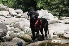Ziggy - 4 months black Puppy Labrador