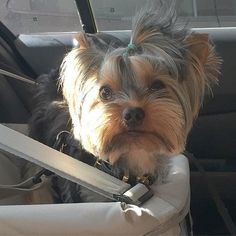 ❤️ All ready for an adventure via yorkiebaby_nickhttp://bit.ly/2giP2Di   Found at: http://itsayorkielife.com/all-ready-for-an-adventure/  #Yorkie,#YorkshireTerrier,#YorkshireTerrierLove,#ItsaYorkieLife