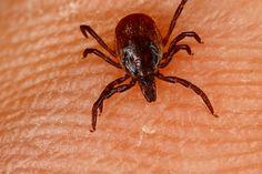 Kleszcze – to pajęczaki należące do podgromady roztoczy. Wyróżnia się rodziny kleszczy twarde (Ixodidae), częściowo okryte twardym pancerzem, oraz pozbawione tego pancerza, miękkie obrzeżkowate (Argasidae). Jest ich kilkaset gatunków. Kleszcze są pasożytami zewnętrznymi głównie kręgowców.