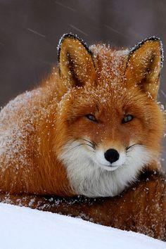 Snowy Fox Amazing World