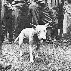 """General Patton's Bull Terrier """"Willie"""". """"Willie was soon to be fattened up as Patton loved him so much he even ate at dinner with Willie sitting by his chair under the table. He would gradually bring him to the weight his little friend should be. This image was taken early and Willie did not yet have many meals from Patton and his mess kitchen."""" Source: #BullTerrier #BullTerriers #BullTerrierLove #BullTerriersOfInstagram #ILoveMyBullTerrier 