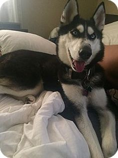 jupiter, FL - Siberian Husky Mix. Meet Sasha, a dog for adoption. http://www.adoptapet.com/pet/13365398-jupiter-florida-siberian-husky-mix