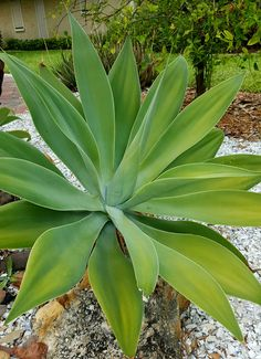 Also known as the Foxtail agave, this spineless, smooth leaved agave is very attractive in the landscape. Flower spikes are enormous and look like large, fuzzy animal tails. Grows best in part shade.