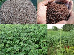 Validated and Powerful Medicinal Rice Formulations for Diabetes (Madhumeha) and Cancer Complications and Revitalization of Kidney (TH Group-148 special) from Pankaj Oudhia's Medicinal Plant Database