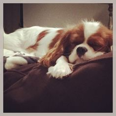 Charlotte the Cavalier-sunday funday, puppy style!