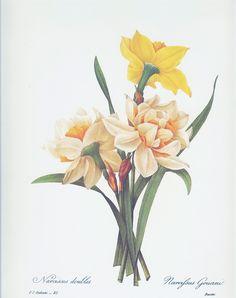 BOTANICAL PRINT Vintage 1981 Redoute Art Print 78 Narcissus Yellow ...