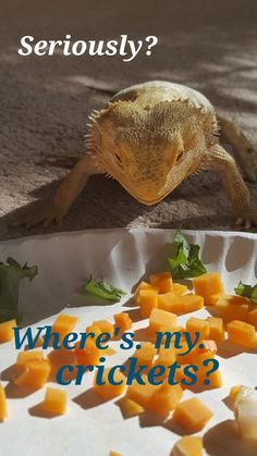 Max will look at me like he hates me when I put veggies in his bowl and don't toss in crickets right away