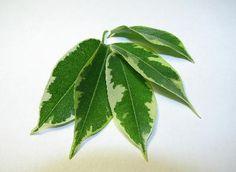 Cuidado y mantenimiento de un Ficus | eHow en Español