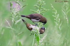Munia Bird. Proposing- I love you, - Munia Bird, Lonchura is a genus of the estrildid finch family, and includes munias, mannikins, and silverbills. They are resident breeding birds in Africa and in South Asia from India and Sri Lanka east to Indonesia and the Philippines.,