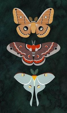 Common North American Saturniid moths - Polyphemus, Crecopia, and Luna.