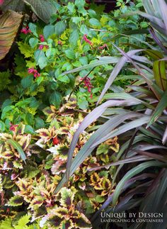 On the right is Princess Caroline grass which gets huge! But a wonderful statement maker in the garden. In forefront is coleus, back is Van Houtte red salvia and upper corner is Tropicanna canna.