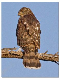 The Cooper's hawk is a medium-sized raptor closely related to sharp-shinned hawks and northern goshawks. Adult birds have short, broad wings and long tails for navigating through woodlands and thickets. Cooper's Hawk, Bald Eagle, Birds, Animals, Nature, Animales, Naturaleza, Animaux, Bird