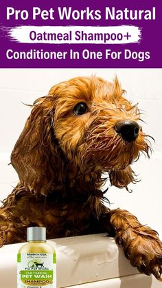 Diy Shampoo, Shampoo And Conditioner, Oatmeal Shampoo, Usa Pro, Dog Grooming Tips, Dog Health Care, Dog Treats, Cute Dogs, Teddy Bear