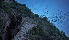 Ein breiter Strom Fledermäuse verlässt die »Bat Cave«. Etwa eine Million Fledermäuse leben in der Höhle im Phnom Sampeau.