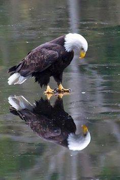 Bald Eagle on Ice...Hellooo!!