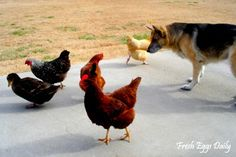 Fresh Eggs Daily®: Basic Chicken Etiquette for the Family Dog - The Importance of Training