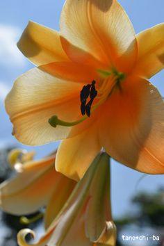 Orenge lily