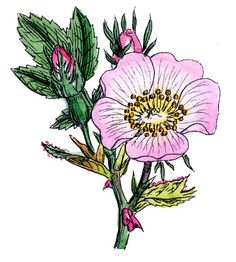 Vintage Botanical Graphics - Wild Roses - The Graphics Fairy