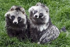 The raccoon dog (Nyctereutes procyonoides) is a member of the dog family native to Japan. In Japanese folklore they are portrayed as tricksters who protect homes and businesses from fire. And they are cute.