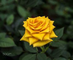 Sarı Gül (Yellow Rosa) Gül, gülgiller (Rosaceae) familyasının Rosa cinsinden güzel kokulu bitki türlerine verilen ad. Anavatanı Anadolu, İran ve Çin'dir ama başka yerlerde de yetişir. Çok güzel ve kıymetlidir. Park ve bahçelerin süslenmesinde kullanıldığı gibi odaları, balkon ve terasları süsler. Birçok rengi vardır.Kesme çiçekçilikte çok talep edilen bir çiçektir.