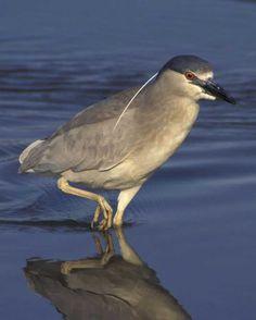 Black-crowned Night-Heron | Audubon Field Guide