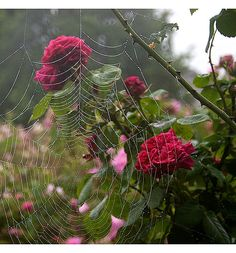 Spider Web in the Roses.
