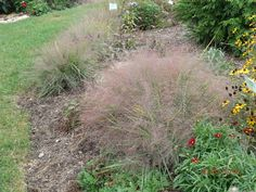 10/02/2016 Purple Love Grass in display garden at The Growing Place in Aurora IL