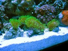 Soft Coral: Leather Corals and other Soft Corals