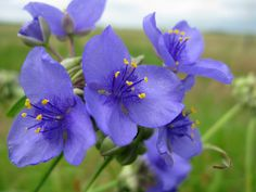 Tradescantia ohiensis Raf. - Bluejacket - Ohio spiderwort