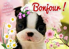 Bonjour Boston Terrier, French Bulldog, Good Morning, Funny Animals, Dogs, Amour Éternel, Recherche Google, Communication, Facebook