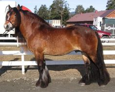 mealy bay - North Swedish Horse stallion Bronson