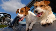 Difference between Parson, Jack Russell and Russell Terrier | CANIDAE®