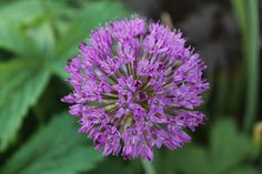 vardagens guldkorn: trädgård Allium